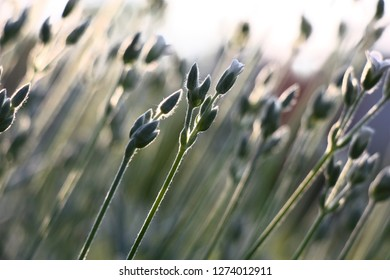 Silvery runaways of the blossoming cerastium on a grey and white natural background.