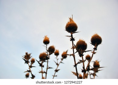 Silybum marianum (cardus marianus, milk thistle, blessed milkthistle, Marian thistle, Mary thistle or Scotch thistle) dry flowers on cloudy sky background