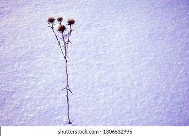 Silybum marianum (cardus marianus, milk thistle, blessed milkthistle, Marian thistle, Mary thistle or Scotch thistle) dry flowers silhouette on glade covered with snow background, top view