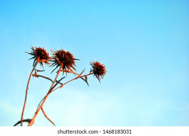 Silybum marianum (cardus marianus, milk thistle, blessed milkthistle, Marian thistle, Mary thistle or Scotch thistle) dry flowers on blue sky background