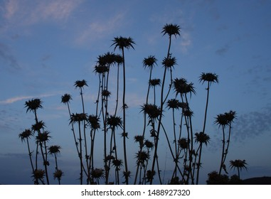 Silybum marianum (cardus marianus, milk thistle, blessed milkthistle, Marian thistle, Mary thistle or Scotch thistle) dry flowers