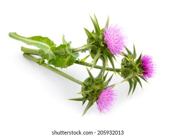 Silybum marianum or cardus marianus, milk thistle, blessed milk thistle, Marian Thistle, Mary Thistle, Saint Mary's Thistle, Mediterranean milk thistle, variegated thistle, Scotch thistle.