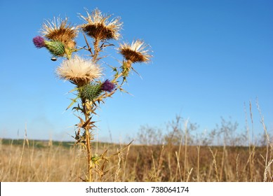 Silybum marianum (cardus marianus, milk thistle, blessed milkthistle, Marian thistle, Mary thistle or Scotch thistle) dry flowers, autumn sky and grass background, soft bokeh