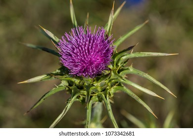 Silybum marianum, also known as a Holy Thistle