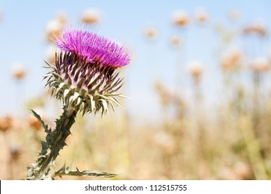 Silybum marianum or milk thistle flower