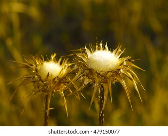Silybum marianum - Thistles on field