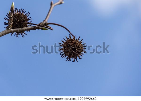 Ähnlich wie neuartiges Coronavirus - 2019-nCoV, covid-19 Nahaufnahme Fliegenspiky braunen Ball Samen von Liquidambar styraciflua auf dem Hintergrund des blauen Himmels. Naturkonzept für Stopp-Coronavirus. Ort für Text