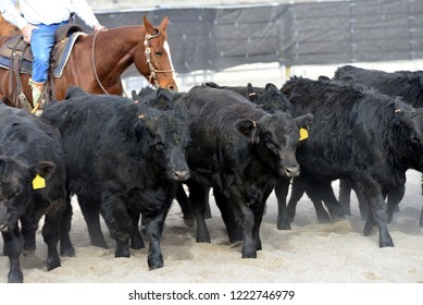 Simmental cattle being herded