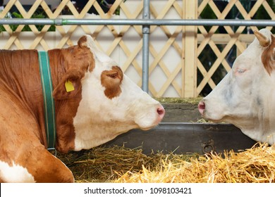 Simmental cow head, a shoulder and a forearm. In a blurry background, there is another head of a Swiss Fleckvieh and a part of a cow barn. Selective focus.