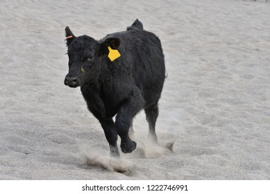 Simmental cow running in sand arena.
