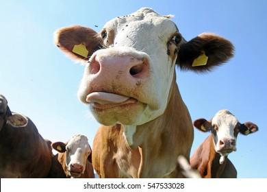 A simmental cow stretches the tongue out