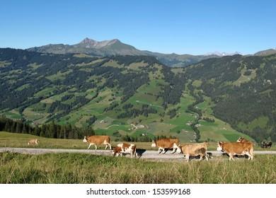 Simmental cows on a farm near Gstaad, Swiss Alps