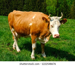Simmental dairy cow