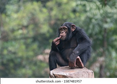 Simpanse or Chimp also known as a The chimpanzee (Pan troglodytes), is a species of great ape native to the forests and savannahs of tropical Africa
