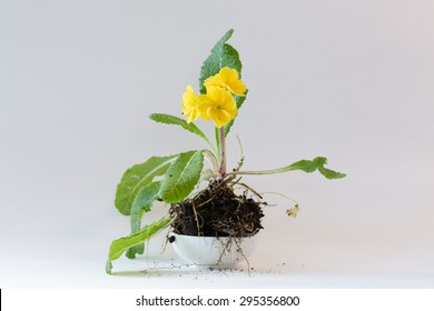 A simple and elegant winter primrose placed in a small white bowl to add to the beauty of the whole plant. A lovely feast for the eyes to enjoy for cards, calendars, or other ideas and concepts.