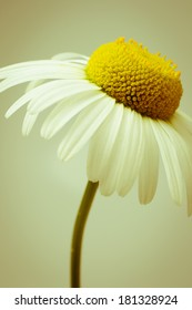 Simple oxeye daisy in retro style
