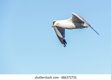 Simple Seagull flying in the sky