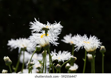 Simple shot of white daisies against a dark background