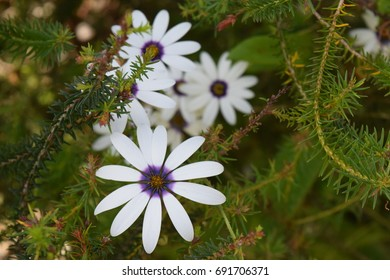 Simple white daisy like flowers with blue centers.