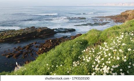 Simple white oxeye daisies in green grass over pacific ocean splashing waves. Wildflowers on the steep cliff. Tender marguerites in bloom near waters edge in La Jolla Cove San Diego, California USA.