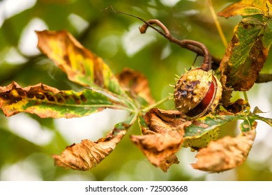 Simply autumn time with chestnut fruit, season, colors and background