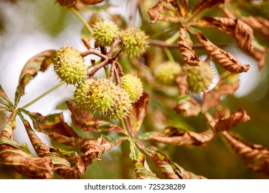 Simply autumn time with chestnut fruit,