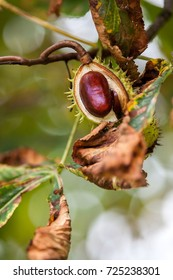 Simply autumn time with chestnut fruit