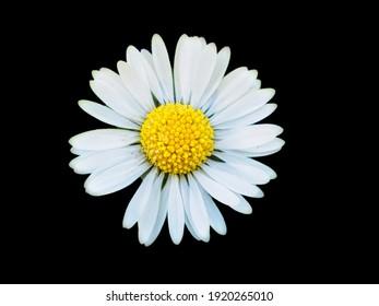 Simply an isolated on black  daisy