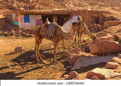 Sinai Mountains, Egypt- JANUARY 04, 2019: Two camels are waiting for tourists to bring them to the top of the Mount Sinai (Mount Horeb, Gabal Musa). Sinai Peninsula of Egypt.