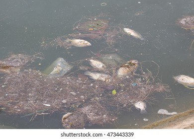 Since water pollution caused sewage has resulted in a swamp dead fish littering.