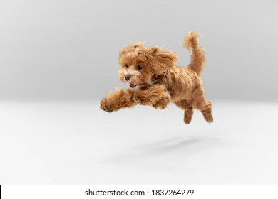 Sincere emotions. Maltipu little dog is posing. Cute playful braun doggy or pet playing on white studio background. Concept of motion, action, movement, pets love. Looks happy, delighted, funny. - Shutterstock ID 1837264279