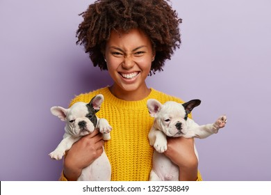 Sincere glad woman with curly hairstyle wears yellow jumper, carries little cute puppies with flat faces, black ears, white bellies, short legs, laughs, likes bulldogs and pedigree pets, isolated