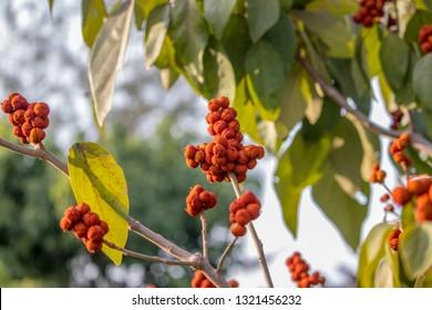 Sindoor tree in India