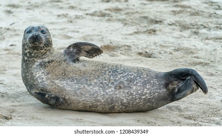 Sindy the Seal relaxing on the beach at Portsoy, Aberdeenshire, Scotland