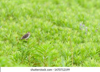 sing eurasian skylark (Alauda arvensis)