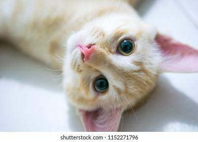 Singaoire Pink Nose Cat