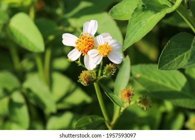 SINGAPORE - 14 APR 2021. The Bidens pilosa  is a wild flower seen common in wild open spaces. Its flowers have central yellow disc florets and white ray petals or disc florets with no ray petals.