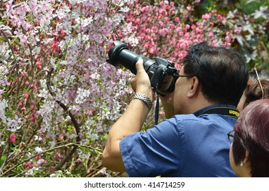 SINGAPORE- 18 MAR, 20165: Visitor take photo of cherry blossom in Garden By the Bays, Singapore.