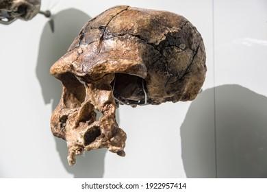 Singapore 23th Feb 2021: the Homo erectus. Replica based on specimen Sangiran 17, 1969 Indonesia, Java, Sangiran in Lee Kong Chian Natural History Museum. 850 thousand years ago.