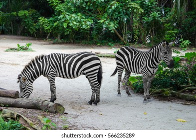SINGAPORE - AUGUST 17, 2016: A day in the life of zebra, Singapore Zoo