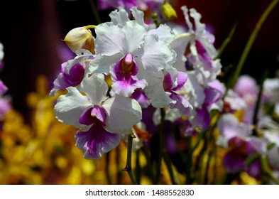 Singapore - August 22, 2019: Singapore's national flower Papilionanthe Miss Joaquim also known as Vanda Miss Joaquim, the Singapore orchid and the Princess Aloha orchid is a hybrid orchid cultivar.