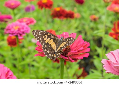 Singapore daily flower and Butterfly in flower field