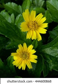 The yellow flowers name kadumtong images stock photos vectors singapore daisy this name in thailand is kadumtong select focus at a bottom flower mightylinksfo
