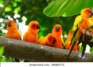 SINGAPORE - FEBRUARY 19: Sun parakeets in Jurong Bird Park on 19 February 2017 at Singapore. Jurong is the biggest bird park in South East Asia.
