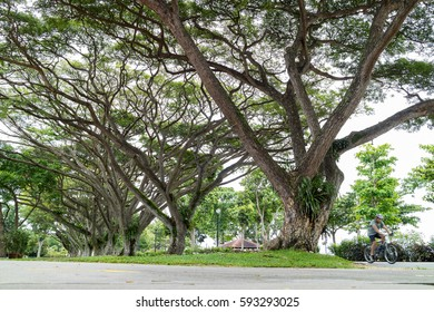 SINGAPORE - JANUARY 25, 2017_A cyclist with large green trees in the East Coast Park, the largest park in Singapore. The park is a popular place for people to relax and unwind.