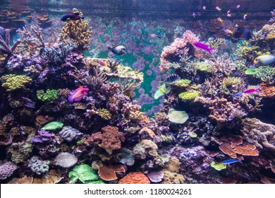 Singapore - Jul 2018: Colorful fishes, corals, reefs, and marine lives exhibited through the big-tank habitat inside S.E.A. aquarium, Sentosa Resort World