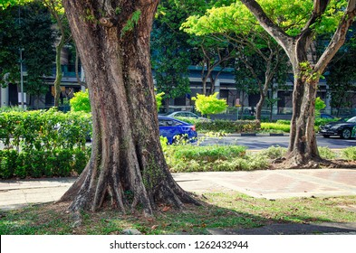 Singapore - March 23, 2018: View at the thick trunk of Tamalan tree with green moss on the side of the sidewalk at Stamford Road. There is another tree but it is thinner the first one.