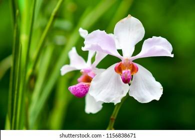 Singapore orchids species