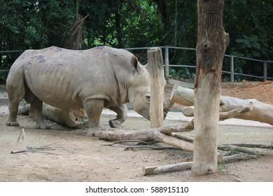 SINGAPORE ZOO, SINGAPORE, JANUARY, 2015: big rhinoceros in Singapore Zoo