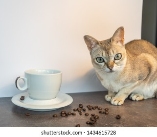 singapura cat with cup of coffee